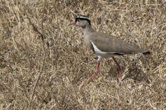 在非洲savann的干草中去的被加冠的田凫 库存照片