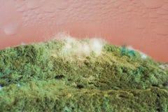 在面包,有趣的毛茸的纹理的绿霉青霉素 库存图片