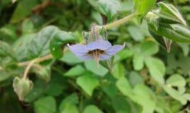 在面孔美丽的浅兰的花下 库存图片