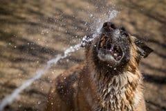 在面孔被喷洒的德国牧羊犬狗由水水管 库存照片