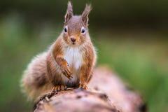 在面对前面的日志的红松鼠中型松鼠寻常的sittin 免版税库存照片