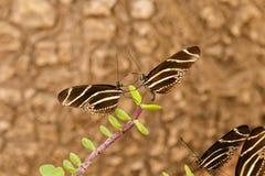 在面对的同样叶子的两只斑马Longwing蝴蝶 免版税库存图片