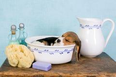在面盆的困小狗 库存照片