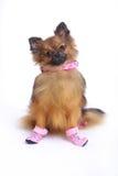 在鞋子的坐的德国波美丝毛狗 免版税库存图片
