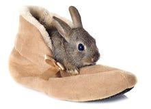在鞋子的欧洲的兔子 库存图片