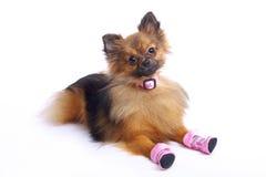 在鞋子的说谎的德国波美丝毛狗 免版税库存照片