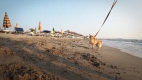 在鞋带的razy滑稽的快乐的小狗,获得在海滩的乐趣在跑在日落的沙子 图库摄影