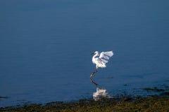 在鞋帮后面海湾新港海滨加利福尼亚的白鹭着陆 免版税库存照片