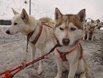 在鞔具的拉雪橇狗西伯利亚爱斯基摩人 免版税图库摄影