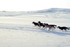 在鞔具的西伯利亚爱斯基摩人仓促 免版税图库摄影