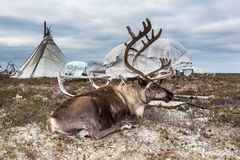 在鞔具的鹿在阵营Nenets 免版税库存照片