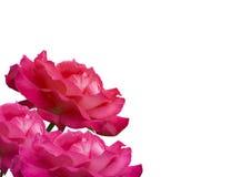 在页的边的两朵桃红色玫瑰 免版税库存照片