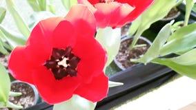 在顶视图的红色郁金香 库存图片