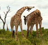 在领土争端的长颈鹿。 免版税库存图片