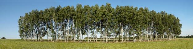 在领域中的桦树树丛 免版税库存图片