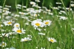 在领域中间的雏菊花 免版税库存图片