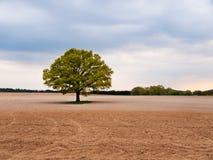 在领域中间的孤零零大橡树 库存图片