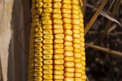 在领域关闭的成熟玉米 免版税库存图片