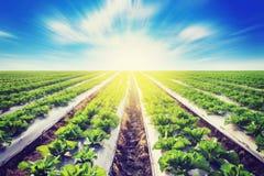在领域农业的绿色莴苣与阳光作用 免版税图库摄影