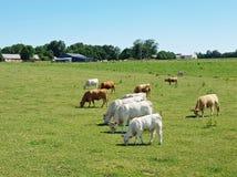 在领域吃草母牛 库存照片