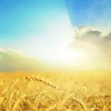 在领域和好日落的金黄庄稼在云彩 库存图片