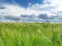 在领域和蓝天的绿色麦子耳朵与云彩 免版税库存图片