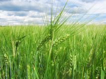 在领域和蓝天的绿色麦子耳朵与云彩 库存图片