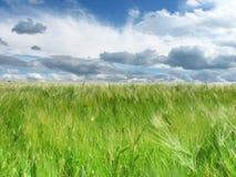在领域和蓝天的绿色麦子耳朵与云彩 免版税库存照片