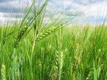 在领域和蓝天的绿色麦子耳朵与云彩 免版税图库摄影