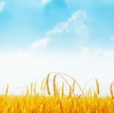 在领域和蓝天的金黄成熟庄稼 图库摄影