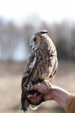 在领域回报的长耳朵猫头鹰飞行和寻找  tam 免版税库存照片