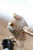 在领域回报的长耳朵猫头鹰飞行和寻找  tam 免版税图库摄影