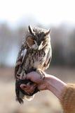 在领域回报的长耳朵猫头鹰飞行和寻找  tam 图库摄影