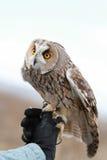 在领域回报的长耳朵猫头鹰飞行和寻找  tam 库存图片