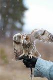 在领域回报的长耳朵猫头鹰飞行和寻找  tam 免版税库存图片