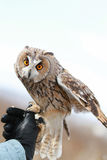 在领域回报的长耳朵猫头鹰飞行和寻找  tam 库存照片