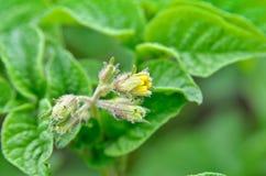 在领域增长的绿色土豆叶子 免版税库存图片