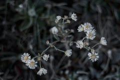 在领域春黄菊花的早晨霜在领域的 免版税库存图片
