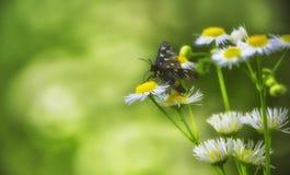 在领域春黄菊的黄色花的黑蝴蝶 免版税库存照片