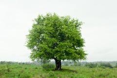 在领域泰国的罗望子树 免版税库存照片