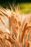 在领域由后照的麦子叶状体 免版税图库摄影