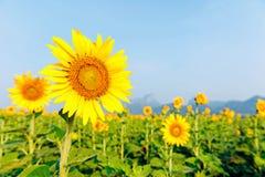 在领域的à¸'Beautiful向日葵 免版税库存图片