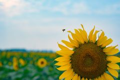 在领域的一个向日葵 库存照片