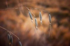 在领域的一个夏日,谷物植物的词根有grains_的 库存图片