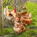 在领域的一只五颜六色的雄鸡 免版税库存图片
