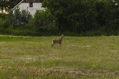 在领域的一只小鹿 库存图片