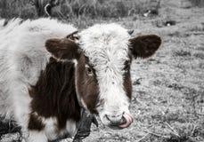 在领域的一头母牛投入了一条` s舌头 免版税库存照片