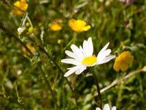 在领域的一朵华美的接近的大白色瓣头状花序雏菊 免版税库存图片