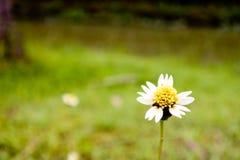 在领域的一朵小的草花 库存图片