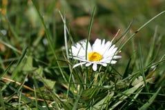 在领域的一朵野生春黄菊花 库存照片